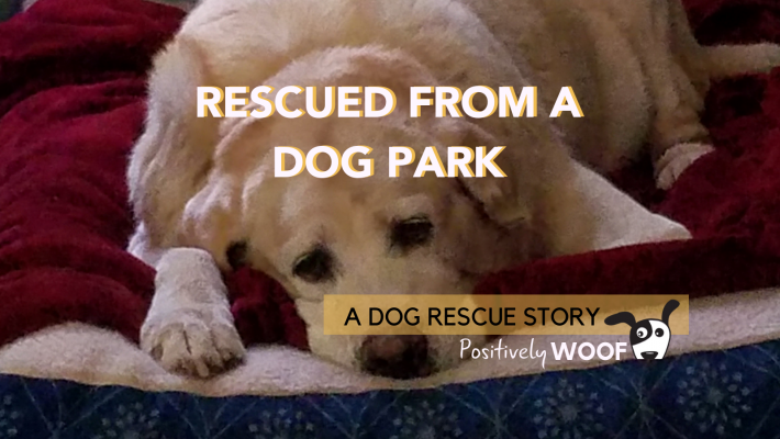 dog rescue story rescued from a dog park