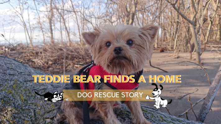 Dog Rescue Story: Teddie Bear Finds A Home